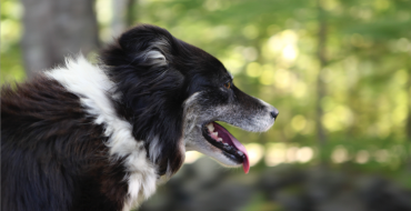 Wellscroft Border Collies