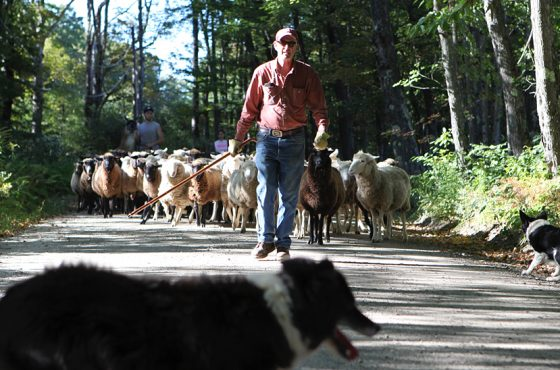 It is a common sight to see David or his shepherd herding a large flock of sheep through the streets of Chesham on their way to a new pasture.