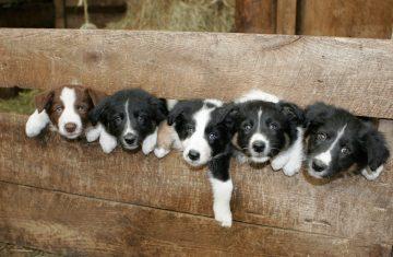 Wellscroft Border Collie puppies