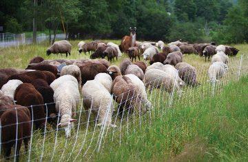 theflock_sheepcrop