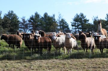 sheepllamawellscroft