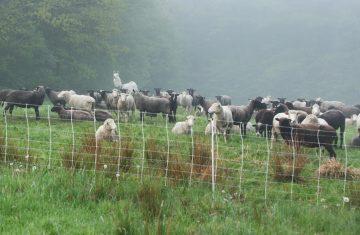 wellscroft-sheep3